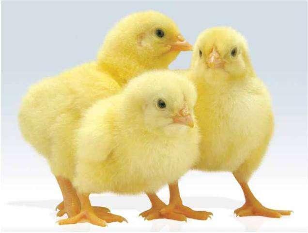 как вырастить цыплят бролера