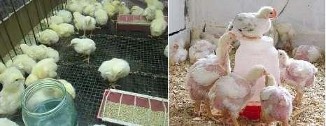 выкармливать бройлерных цыплят