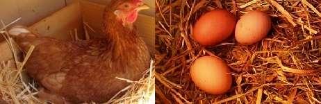 желание клевать яйца «продиктовано» особенностями конкретной породы.
