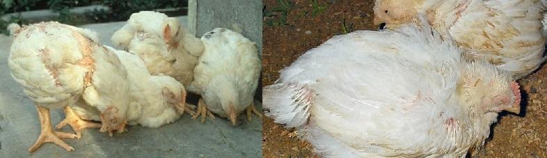 Нарушение пищеварения у цыплят-бройлеров проявляются резким снижением активности