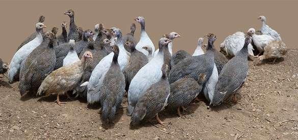 В период яйцекладки начинающему птицеводу нужно помнить, что цесарки – стайные птицы