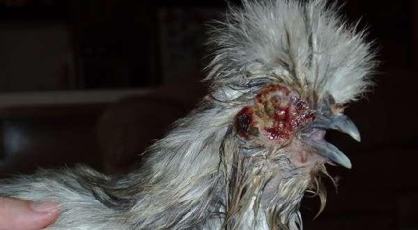 Часто перепела получают серьезные травмы туловища