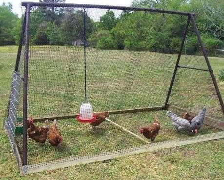 Опытные птицеводы, разводящие цыплят в клетках длительное время