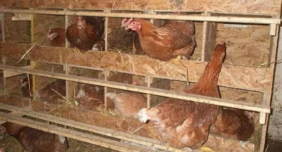 Изготавливая самостоятельно куриное гнездо, стоит подумать об удобстве