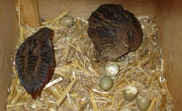Достаточно популярными считаются следующие породы этих неприхотливых птиц