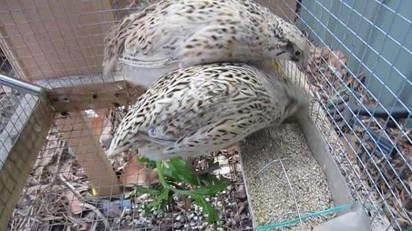 Учитывая боязливость этих птиц, лучше выбирать помещение