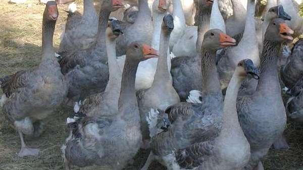 Некоторые птицеводы практикуют ускоренное выращивание гусей
