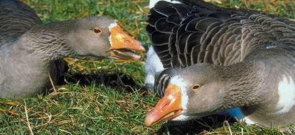 Если вовремя ничего не предпринять, то можно потерять весь выводок гусей.