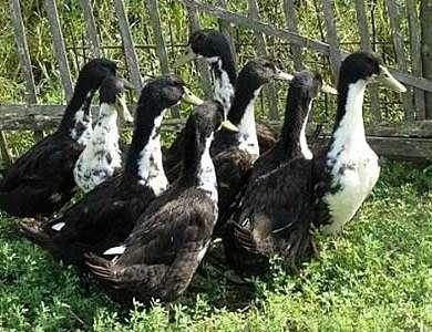 Черные белогрудые утки