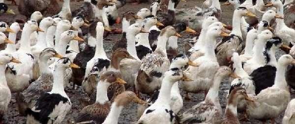 Утки бройлеры, выращивание в домашних условиях птиц - простое, но прибыльное занятие.