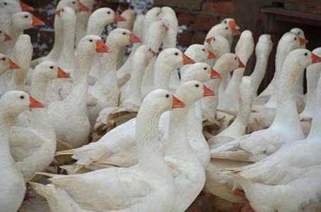 Арзамасская порода гусей: фото