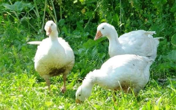интенсивном способе выращивания гусей