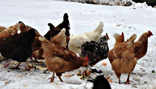 Кормление кур зимой сводится еще и к тому, чтобы давать особям