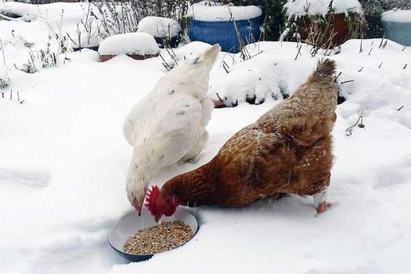Каким должен быть корм для кур?