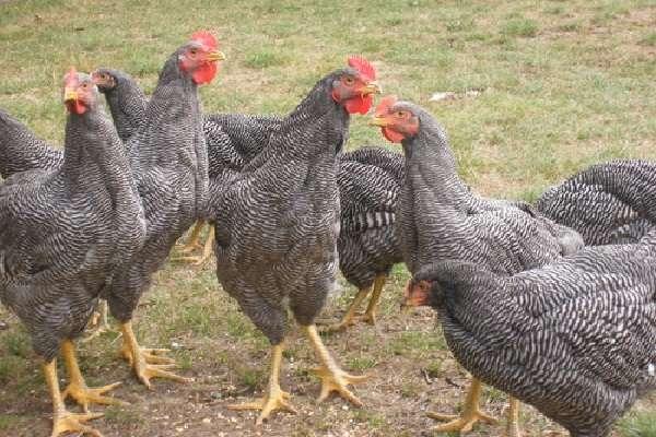 плюсы выращивания куриц Доминант в домашних условиях