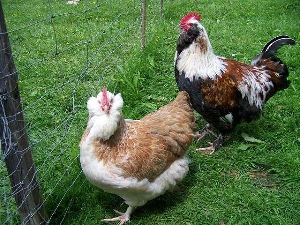Лапы кур породы Фавероль короткие, а сама птица тяжелая