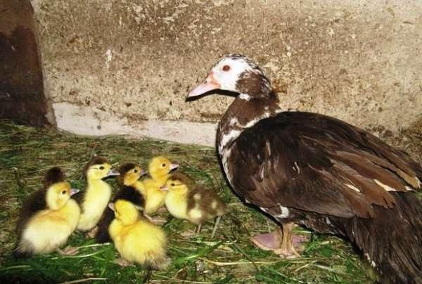 Мускусные утки могут без особых проблем выращиваться