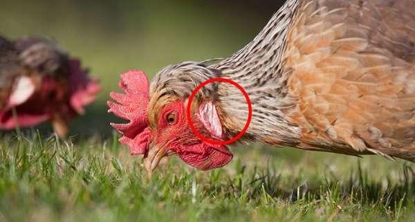куры со светлым оперением чаще всего несут белые яйца.