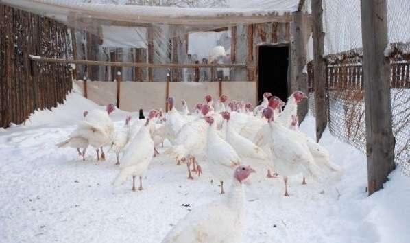 зимний период индюки могут проводить больше времени в теплом помещении