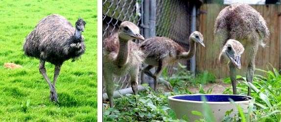 Кормление страусов, рацион которых должен включать все необходимые витамины и микроэлементы, - основная составляющая любого фермера