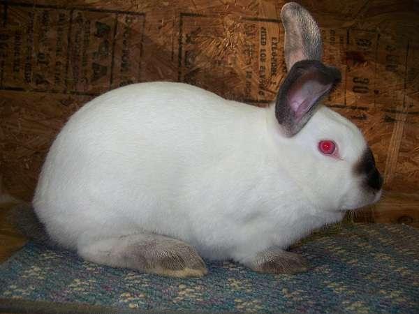 Кролик Калифорнийской породы – представитель бройлеров. Выведен гибрид при работе селекционеров