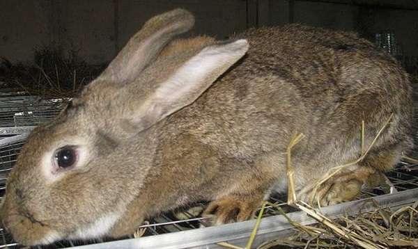 кролики Серый Великан отличаются крупным телосложением