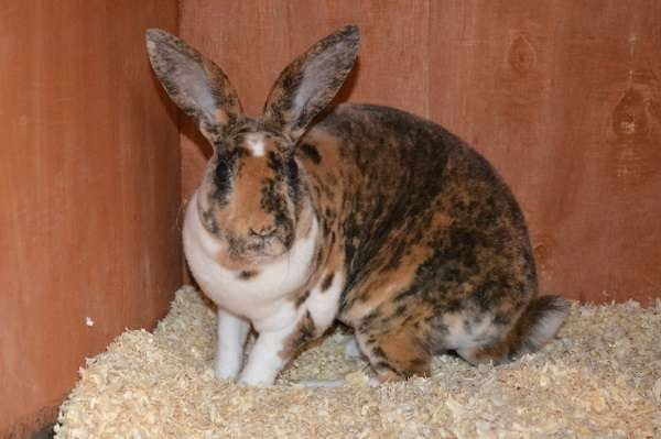 Кролики Рекс отлично переносят холодный климат