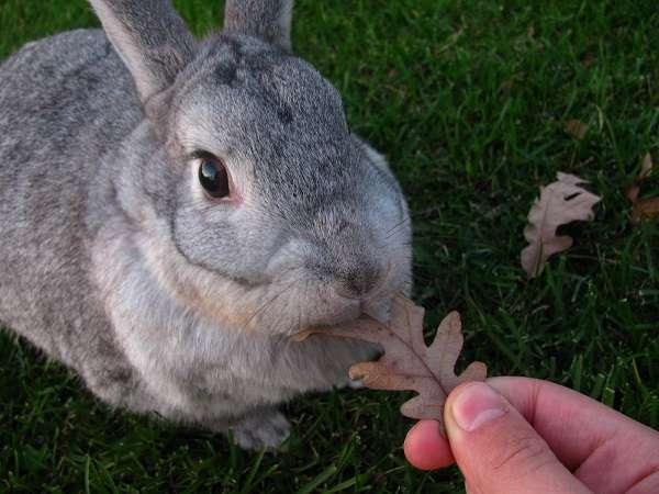 Если решили купить кроликов советской шиншиллы, то не лишним будет посмотреть видео