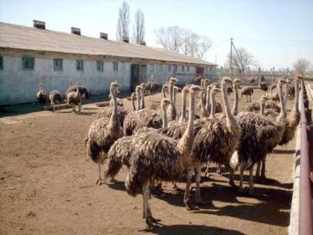 Подходящий участок. Для проживания страуса, птицы африканской, а, значит, предпочитающей тепло, отлично подойдет участок, который будет со всех сторон освещаться лучами солнца.