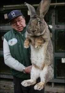 В отношении содержания кроликов Серый Великан, стоит помнить о