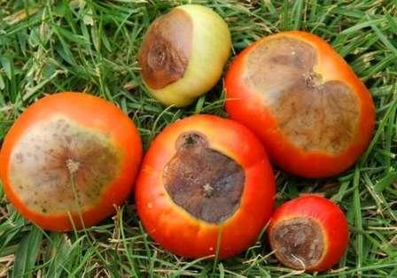 Фото вершинной гнили томатов