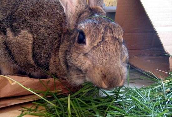 важно знать о том, чем кормить кроликов, чтобы они набирали вес