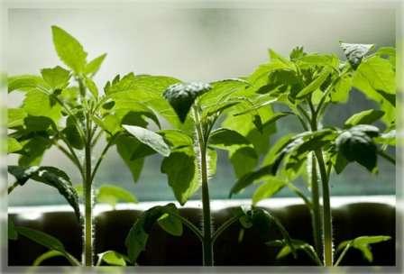 Крепкая и здоровая рассада помидоров — это прямой путь к получению хорошего урожая.