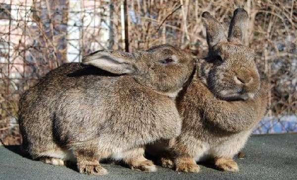 Захотели купить кроликов советской шиншиллы