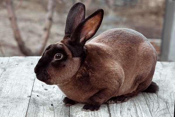 Кролики Рекс давно приобрели репутацию чистоплотных зверьков