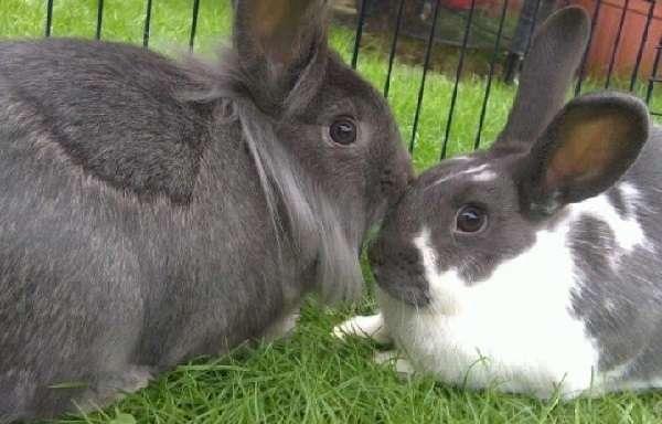 Спаривание кроликов зимой