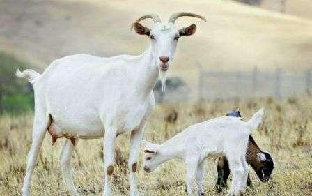 Особенно любят козы полакомиться в холода веники, которые хозяевами заготавливаются еще в осенний период.