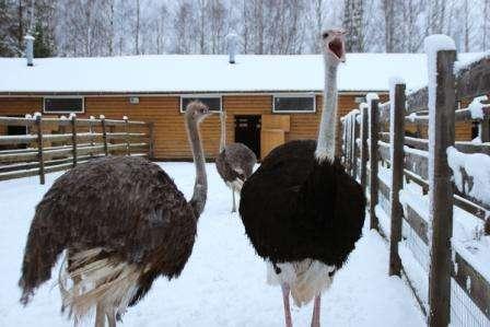 Уход за страусами в домашних условиях