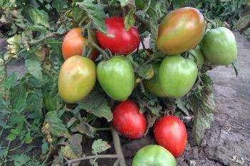 Сорт сибирской селекции, который рекомендован к выращиванию в ОГ и низких теплицах в регионах с прохладным летом.