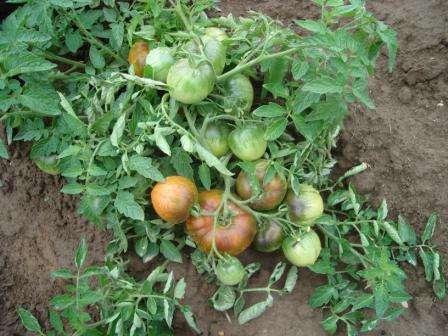 Скороспелый сорт, по описанию очень похож на Грунтовый Грибовкий, но превосходящий его по размеру плодов и урожайности, а также, по устойчивости к фитофторозу.