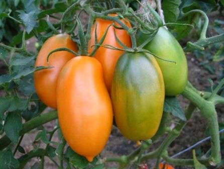 Хотя этот сорт не заслуживает описания как одного из самых урожайных, он приобрел немалую популярность среди жителей средней полосы за отличные вкусовые качества.