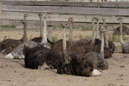 Молодых страусов можно пускать на мясо уже через полтора года жизни, что делает их очень привлекательными для фермеров. Продавать можно не только мясо страусов, но также перья, когти и жир. Все это пользуется большим спросом, как на медицинском рынке, так и на рынке галантереи.
