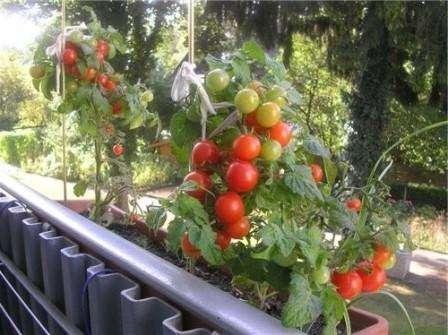 На этом фото вы можете увидеть симпатичные и довольно компактные кустики томата Санька.
