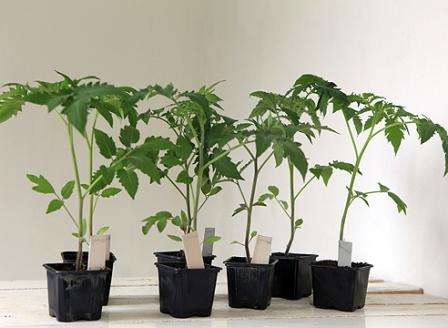 В открытый грунт принято сажать двухмесячную рассаду помидоров, так как при прямом посеве семян на грядки урожая пришлось бы ожидать слишком долго.