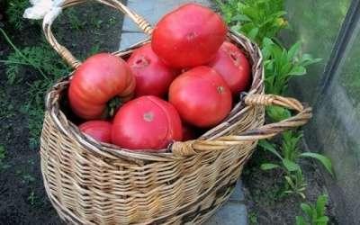 Читая отзывы, вы поймете, что кусты этого томата нуждаются в хорошей опоре и постоянной подвязке. Для новичков это может быть накладно.