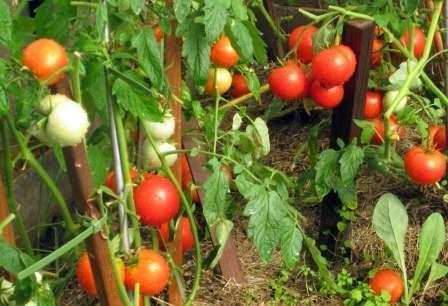 Большой радостью поэтому для многих стала новость о том что томат Дачник не обязательно пасынковать.