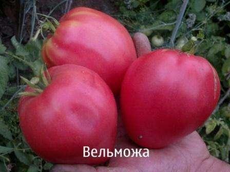 Итак, теперь поговорим, чем именно заслужил такую любовь земледельцев томат Вельможа.