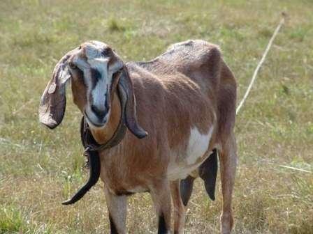 Однако нубийские козы, описание породы, фото будет представлено в этой статье, выращиваются не только для производства молока, но и в качестве вкусной мясной породы