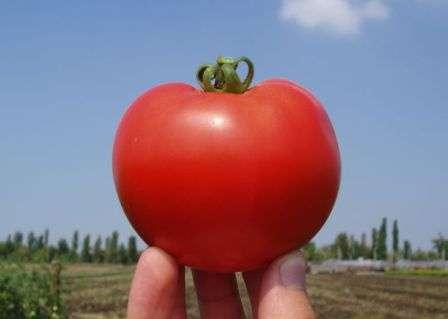 Среднерослый сорт, который удивляет обилием и дружным созреванием плодов.