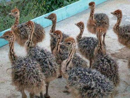 Отдельно стоит отметить любовь страусов к воде, хотя они способны достаточно долгое время оставаться без воды, все же не стоит лишать их живительной влаги. Важно давать им жидкости в том количестве, сколько они будут способны выпить, это важно делать одновременно с кормление птицы.